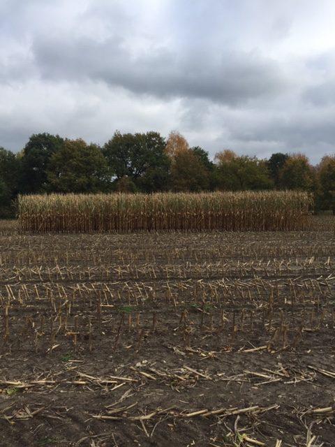 Maisfeld nach der Ernte mit Wintervorrat