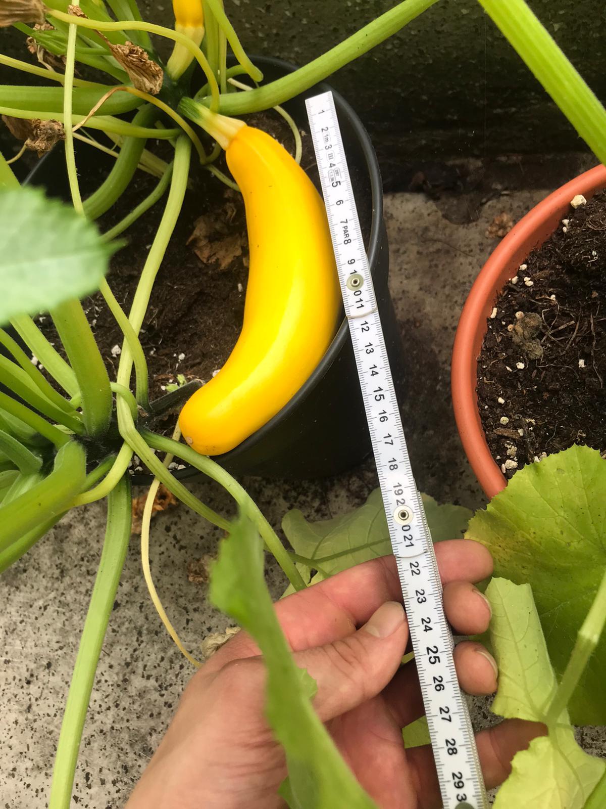 Gelbe Zucchini mit Zollstock