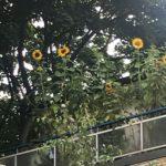 Sonnenblumen auf dem Balkon